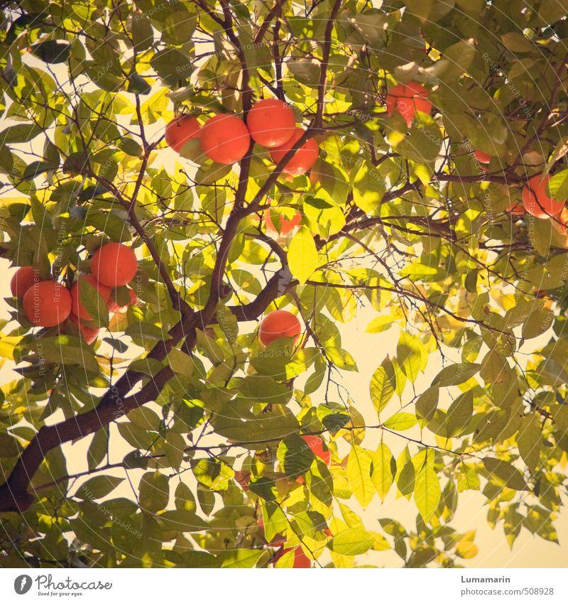 Beautiful Green Plant Tree Leaf Above Natural Healthy Orange Fruit Illuminate Growth Fresh Energy To enjoy Nutrition