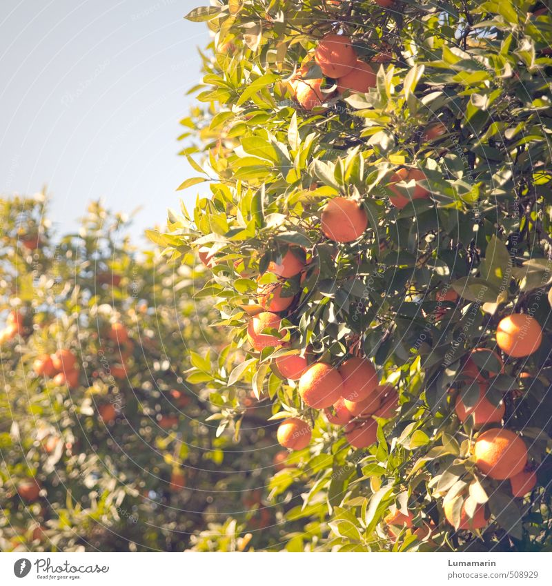 Plant | solar Food Fruit Orange Cloudless sky Beautiful weather Tree Exotic Orange tree Hang Growth Fresh Healthy Tall Delicious Natural Above Round Juicy Sweet