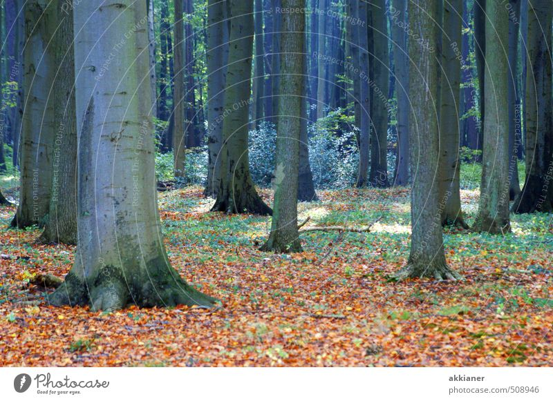 Ghost Forest I Environment Nature Landscape Plant Autumn Tree Natural Beech wood Beech leaf Beech tree Leaf Deciduous tree Deciduous forest Colour photo