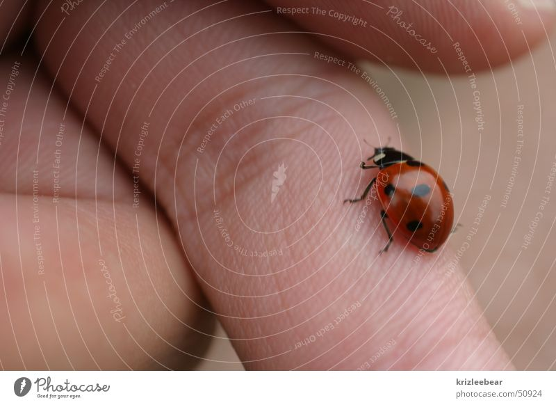 finger runner Ladybird Fingers Insect Animal Nature Beetle beatle Walking
