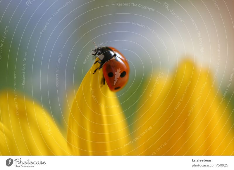 rest Ladybird Blossom Blossom leave Insect Animal Nature Flower Yellow Sunflower Beetle beatle Sit Plant Happy red ladybug Macro (Extreme close-up) Planning Bow