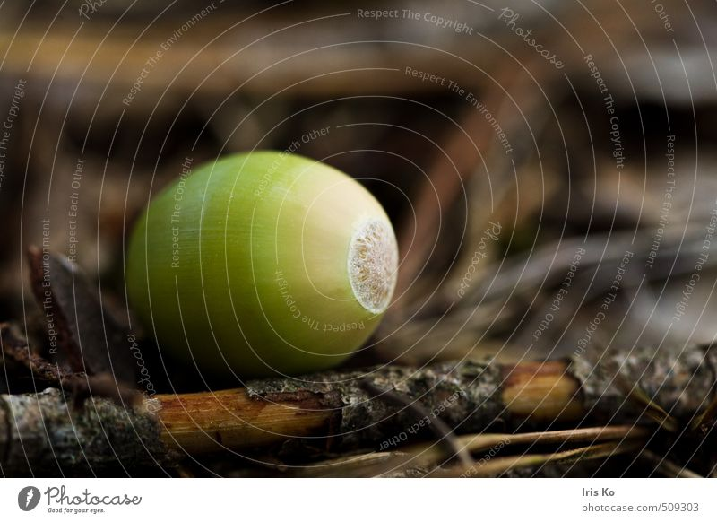 Nature Green Plant Forest Autumn Brown Fruit Autumnal Autumnal colours Early fall Nut Acorn