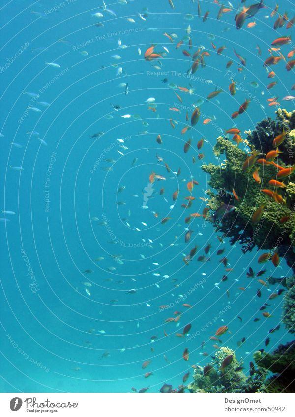 Nature Water Ocean Vacation & Travel Animal Fish Coral Flock Splendid Red Sea