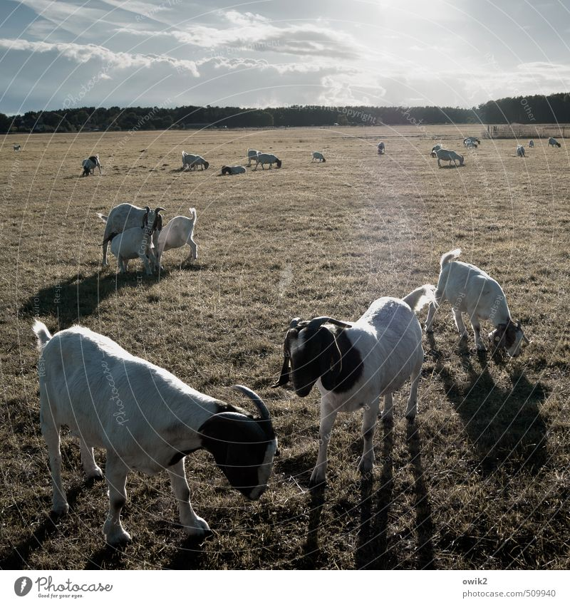petting zoo Environment Nature Landscape Plant Animal Sky Clouds Horizon Climate Weather Beautiful weather Grass Meadow Goats Billy goat Group of animals Herd