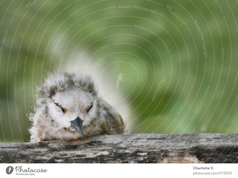 tired Nature Animal Wild animal Bird Chick 1 Baby animal Fuzz Wood Relaxation Crouch Sleep Sit Cuddly Small Round Soft Gray Green White Emotions Contentment