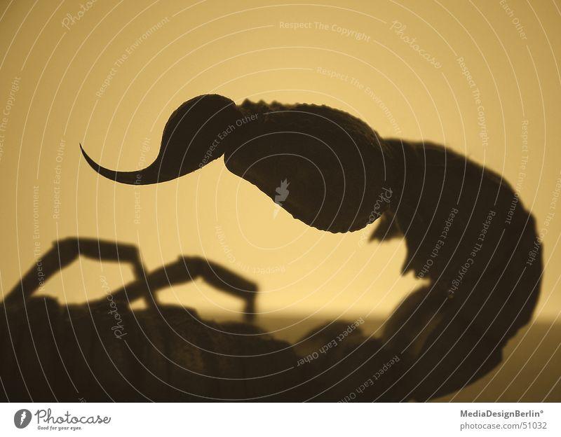 scorpio Scorpion Poison Dangerous Panic Desert Sahara Silhouette Fear Pain Point Spine