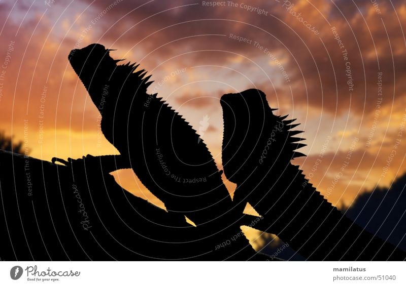 romantic sunset Agamidae Saurians Reptiles Sunset Primitive times Romance Vietnam Back-light Clouds Dragon nape of the neck vietnamese neckstchler capra