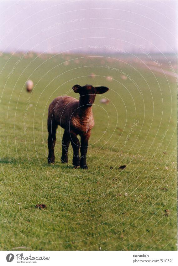 Black sheep Meadow Green Sheep Animal Cute Small Dike Hill Ocean Waves Coast Exterior shot Nature Lamb hilly North Sea