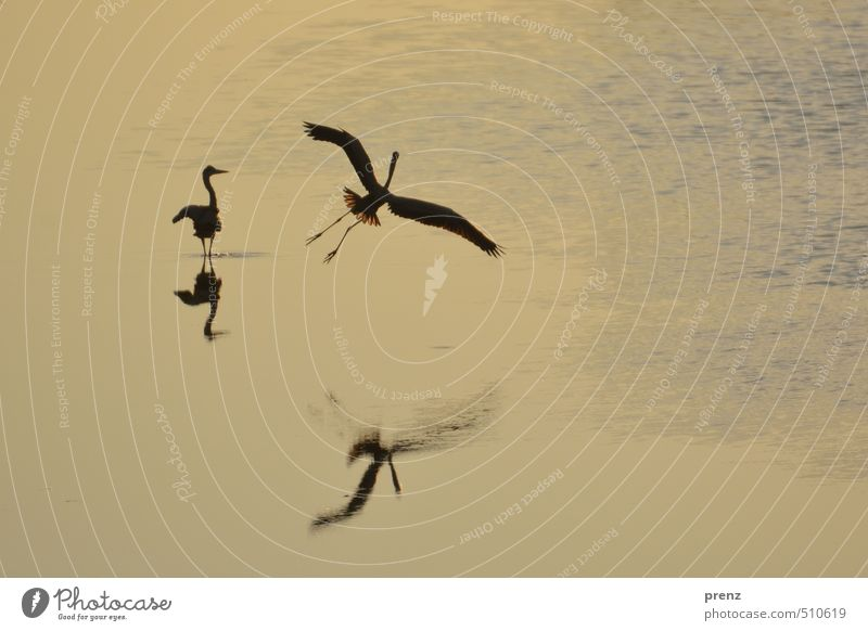 At the pond Environment Nature Landscape Animal Pond Wild animal Bird 2 Blue Brown Yellow Grey heron Floating Airplane landing Colour photo Exterior shot