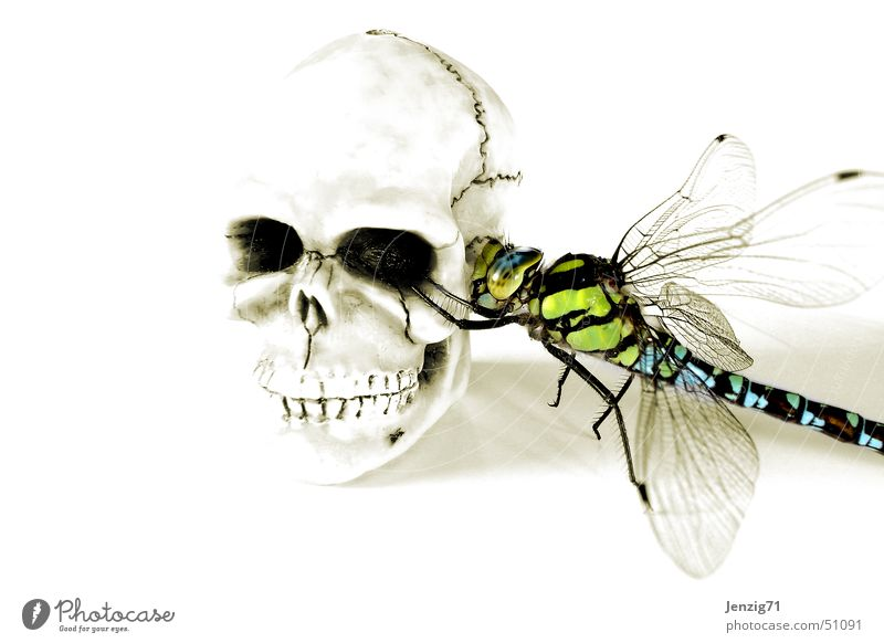 Death Insect Death's head Dragonfly Paddle
