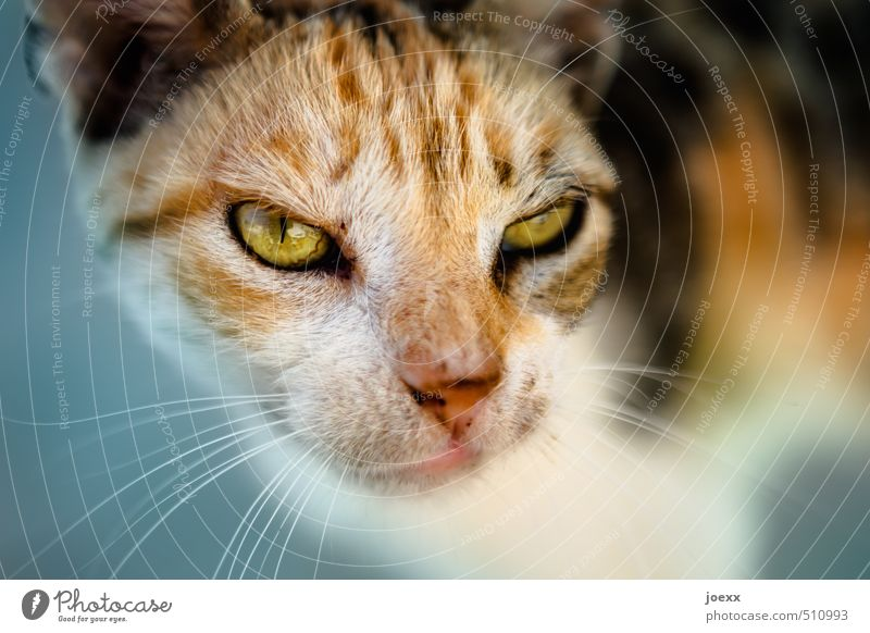 Cat Blue White Animal Black Yellow Eyes Head Brown Threat Pelt Animal face Pet Aggression Hideous Love of animals