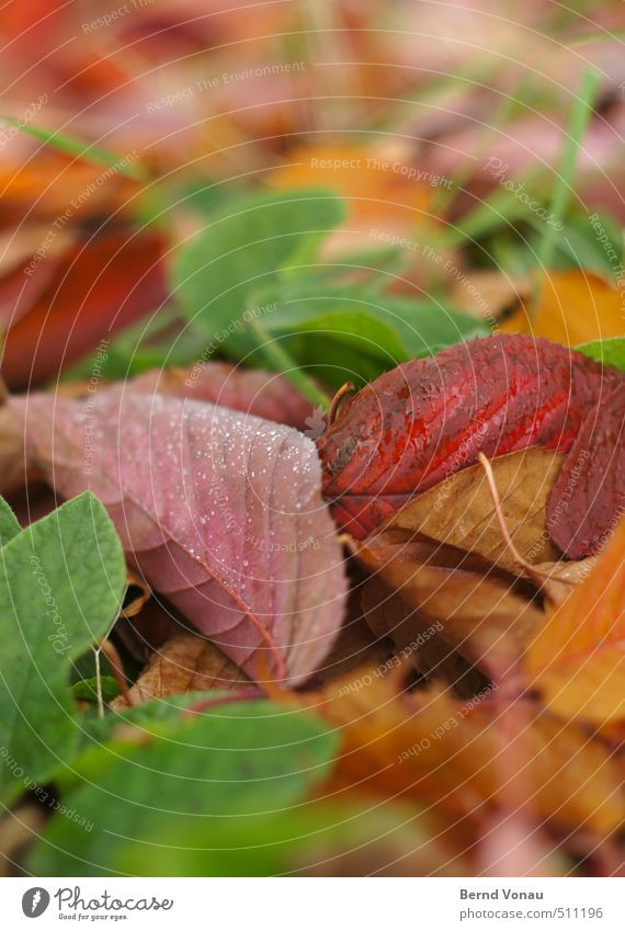 colorful foliage Autumn Plant Leaf Multicoloured Yellow Green Pink Red Autumn leaves Drops of water Muddled Under Rachis Dew Blur Grass Damp Cold Colour photo
