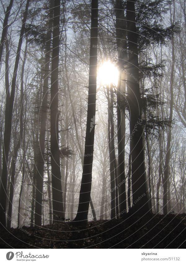 light comes through Forest Fog boundary Fir tree Light Brilliant Sun