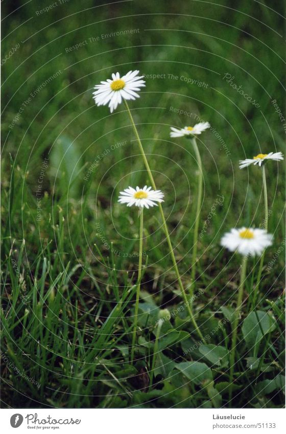 daisy I Spring Summer Flower Green Meadow Sun Detail flowery Lawn Jena