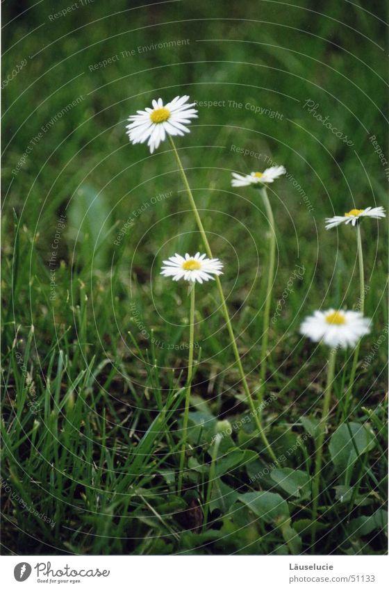 Sun Flower Green Summer Meadow Spring Lawn Jena