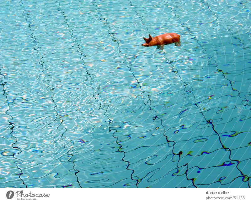SeaPig Swimming pool Swine Transparent Plastic figurine Animal figure Water Blue Tile Surface of water Float in the water Copy Space left Copy Space middle