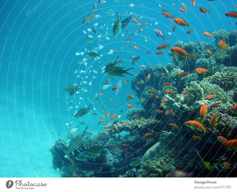 Nature Water Ocean Vacation & Travel Animal Fish Coral Flock Splendid Red Sea