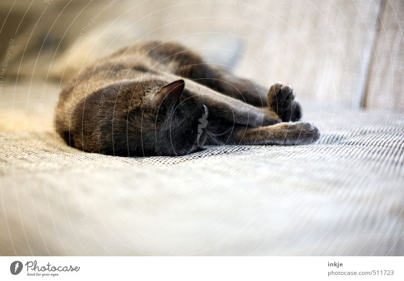 Cat Relaxation Calm Animal Emotions Lie Moody Brown Contentment Living or residing Lifestyle To enjoy Sleep Soft Sofa Pet
