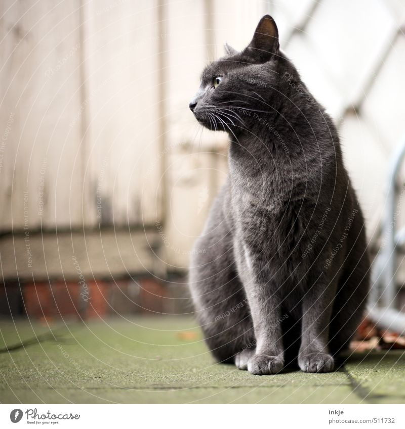 Cat Beautiful Calm Animal Emotions Gray Garden Facade Door Sit Living or residing Wait Cool (slang) Serene Watchfulness Pet