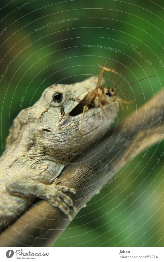 Insect Appetite To feed Meal Reptiles Feed Locust Terrarium Cardiovascular system Digestive system