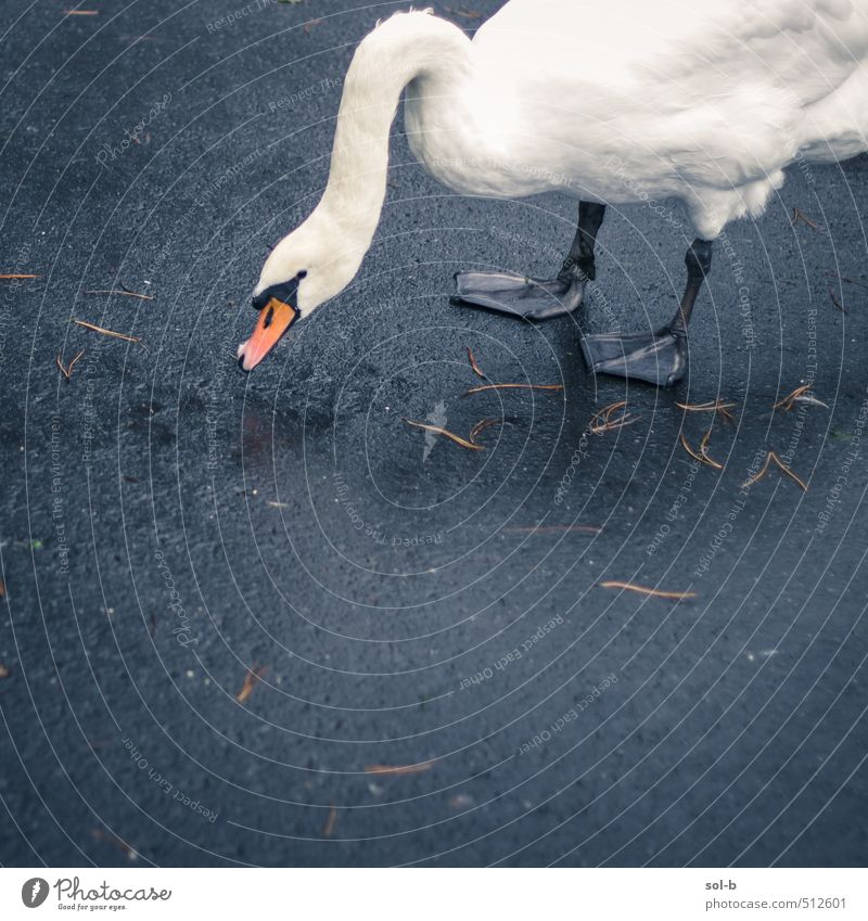 swanning around Nature Beautiful Leaf Animal Street Sadness Lanes & trails Think Natural Bird Elegant Wild animal Authentic Wet Concrete Simple