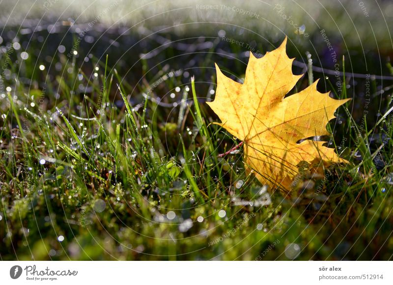 Beautiful weather Nature Plant Autumn Climate Climate change Weather Leaf Lawn Grass Maple leaf Fresh Wet Yellow Green Change Seasons Dew Autumn leaves Autumnal