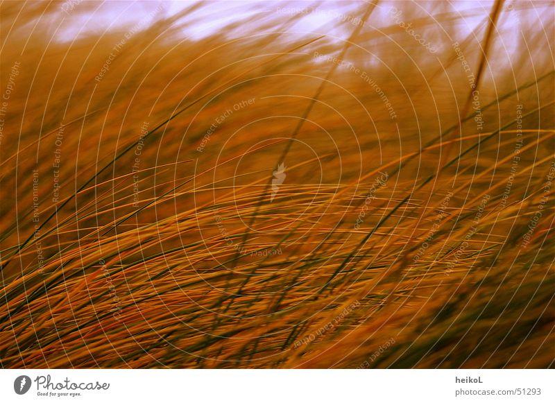 Sunset in the dunes Beach Grass skaage Denmark Beach dune marram grass