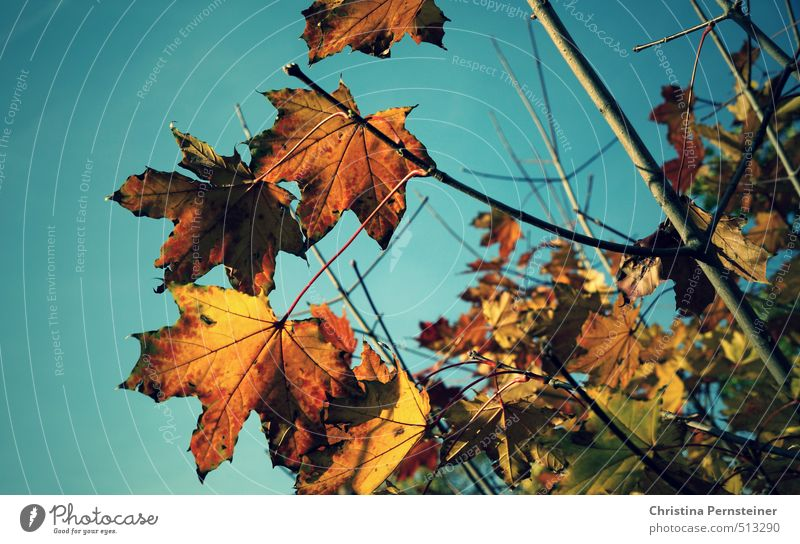 autumn lights Environment Nature Cloudless sky Autumn Beautiful weather Tree Leaf Natural Blue Brown Multicoloured Yellow Gold Green Transience Change