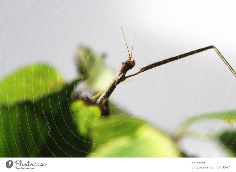 stick insect Animal 1 To feed Crouch Crawl Thin Point Brown Gray Green Love of animals Desire Voracious Bizarre Exotic Colour Threat Climate Nature Environment