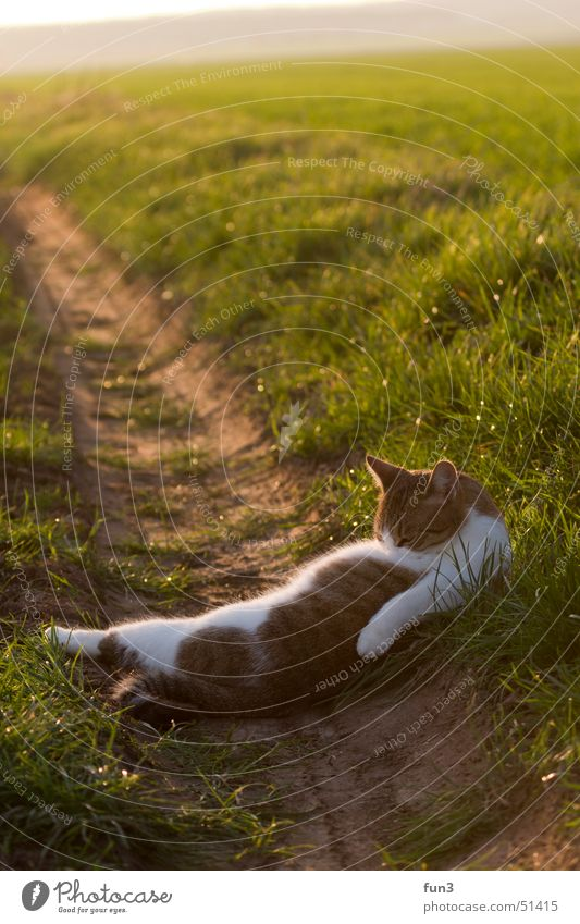 cat Field Sunset Cat Cleaning Green