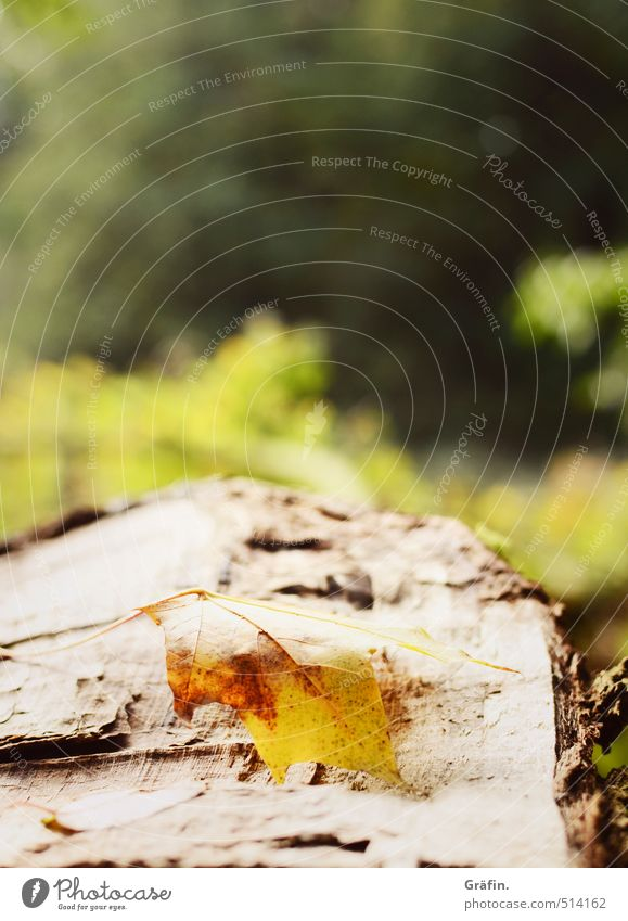 walk in the woods Environment Nature Plant Autumn Tree Leaf Foliage plant Forest Old Discover Lie Brown Yellow Green Loneliness Transience Colour photo