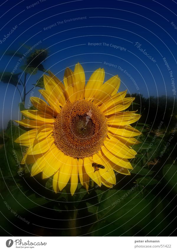 Nature Sun Flower Green Blue Plant Summer Leaf Yellow Blossom Field Round Blossoming Bee Harvest Oil