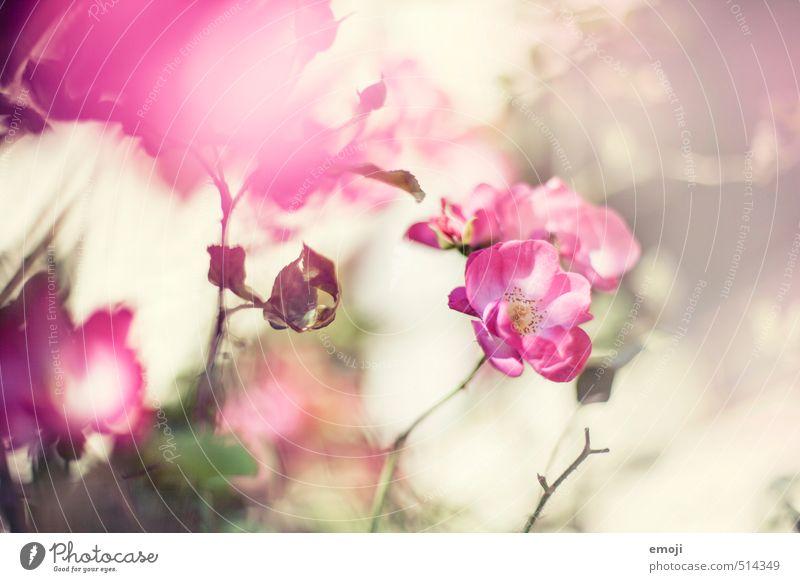 Nature Plant Flower Environment Spring Blossom Natural Pink Rose Fragrance