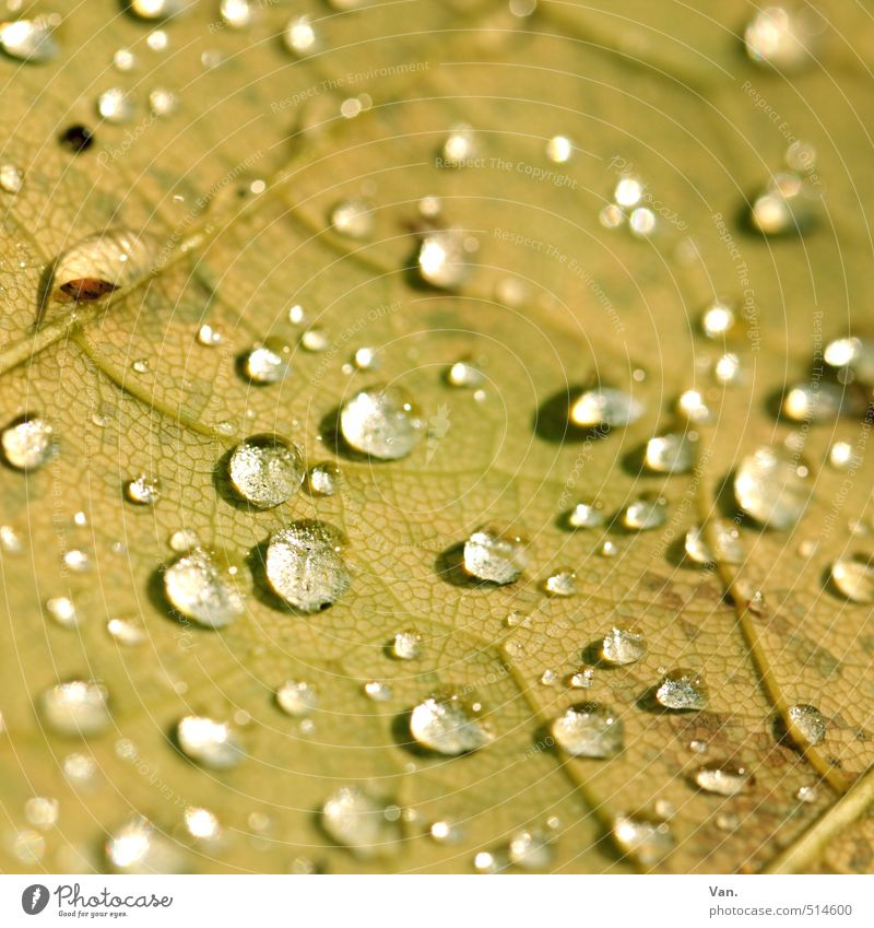 drop Nature Plant Elements Water Drops of water Autumn Leaf Rachis Wet Yellow Colour photo Subdued colour Exterior shot Detail Macro (Extreme close-up) Deserted
