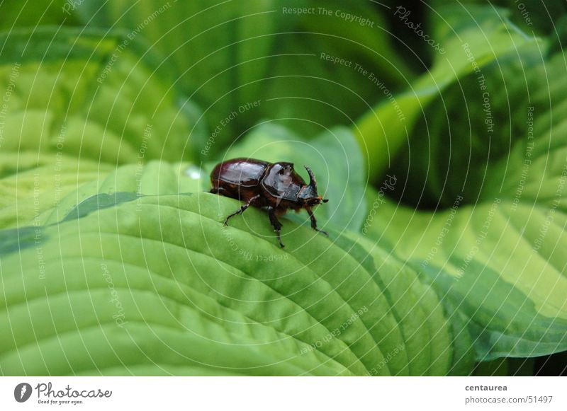 rhinoceros Rhinoceros Leaf Animal Insect Beetle Nature ... Exterior shot