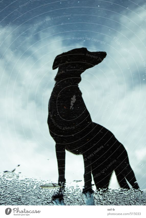 aerodynamic Nature Air Water Sky Clouds Autumn Bad weather Rain Lanes & trails Animal Pet Dog Greyhound 1 Observe Think Hunting Stand Wait Dark Uniqueness Funny