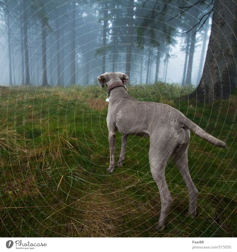 always pay attention Autumn Bad weather Fog Grass Moss Tree Forest Thueringer Wald Rennsteig Pet Dog 1 Animal Movement Playing Romp Hiking Dark Cold Muscular