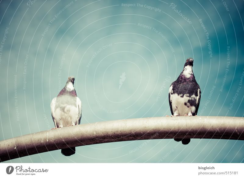 pigeon couple Sky Clouds Bird Pigeon 2 Animal Sit Blue Gray Colour photo Exterior shot Deserted Copy Space top Day