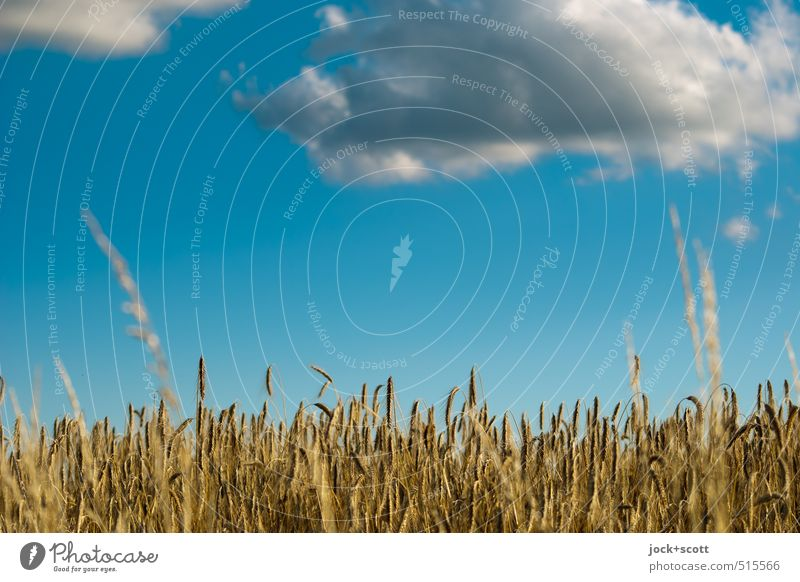 Levitation over grain field Nature Sky Clouds Summer Climate Beautiful weather Agricultural crop Grain field Field Flying Growth Authentic Ease Attraction