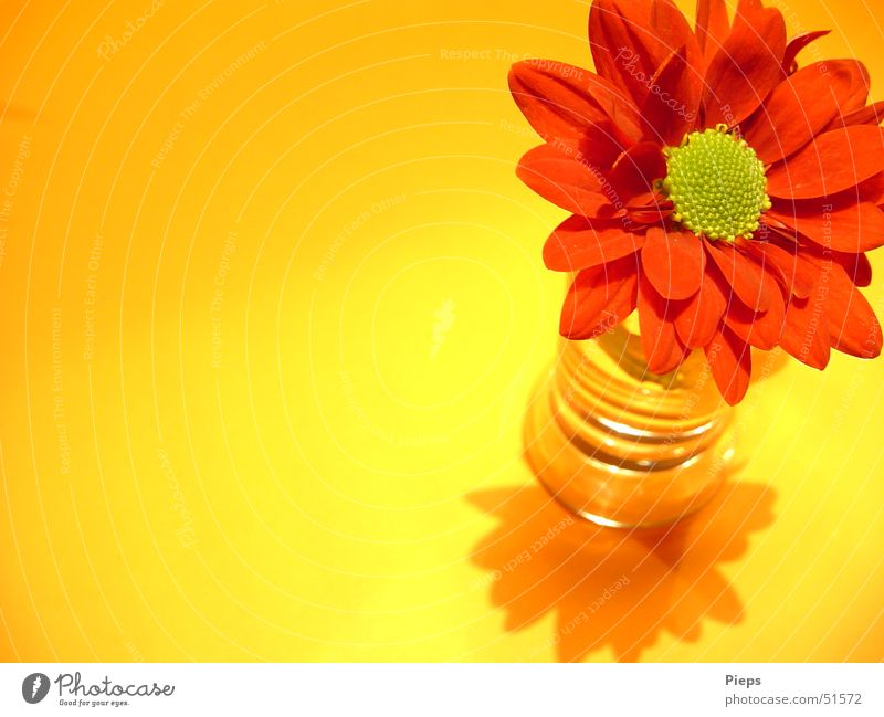 Happy-Fresh Colour photo Interior shot Macro (Extreme close-up) Copy Space left Shadow Plant Flower Blossom Decoration Blossoming Esthetic Yellow Red Transience