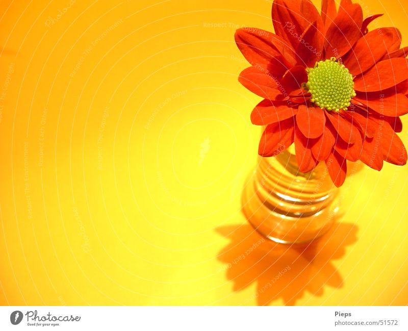 Plant Red Flower Yellow Blossom Esthetic Decoration Transience Blossoming Vase Chrysanthemum