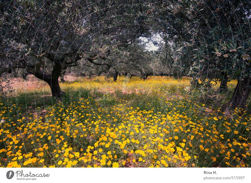 olive grove Environment Nature Landscape Plant Spring Beautiful weather Tree Flower Wild plant Field Blossoming Natural Olive grove Olive tree Colour photo