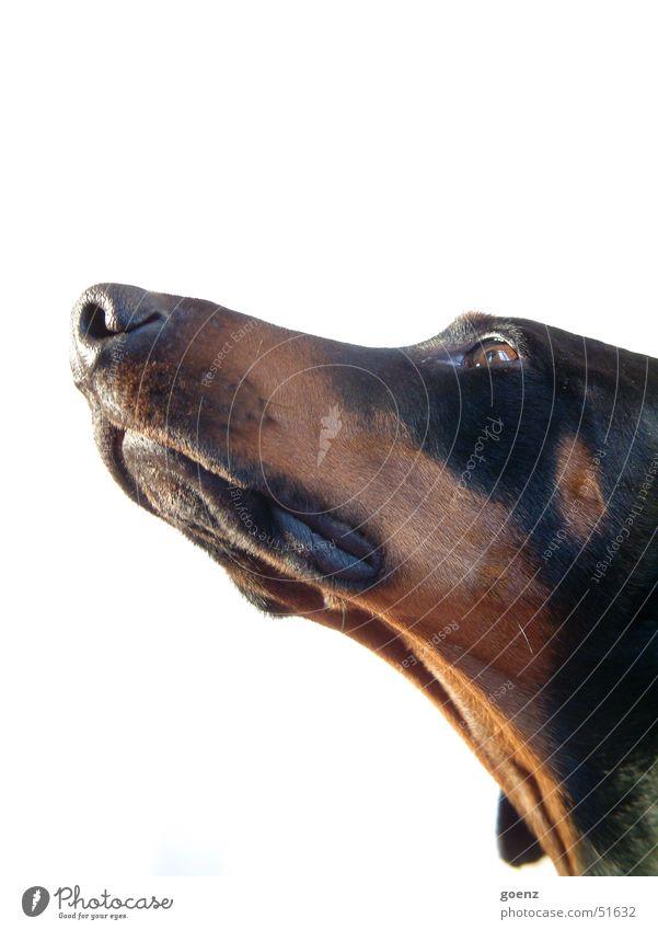 Animal Dog Pelt Snout Doberman Dog's head