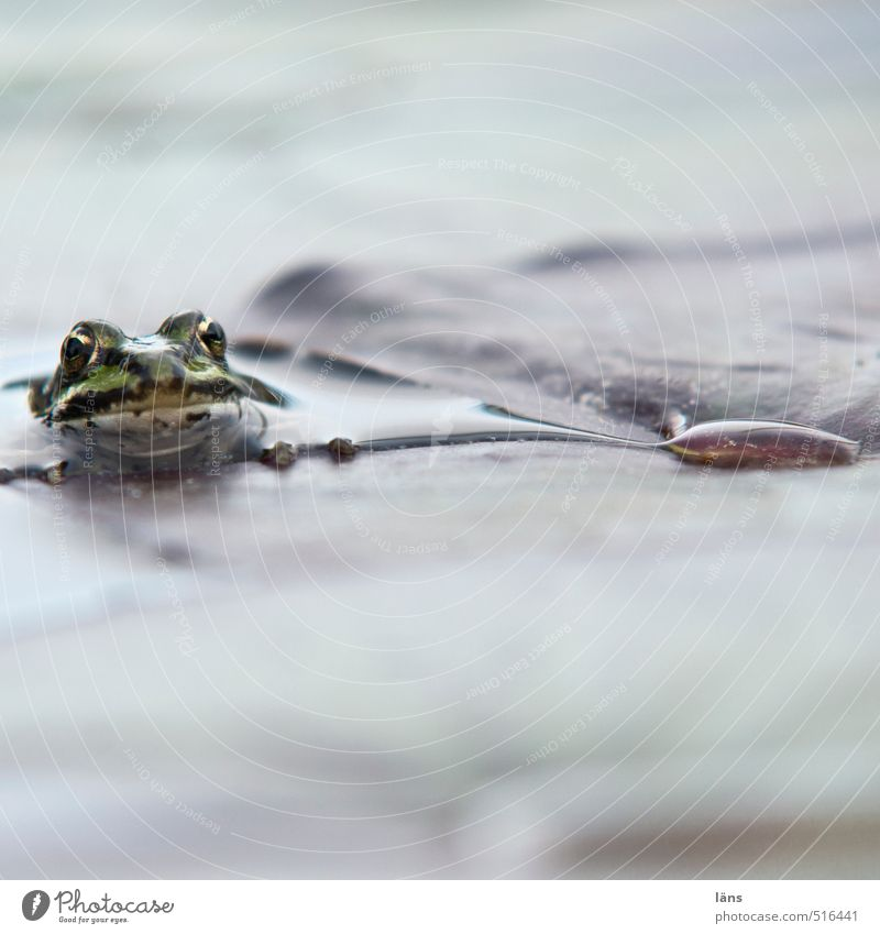 glubscha moment Environment Nature Water Leaf Pond Lake Wild animal Frog 1 Animal Observe Wait Cold Wet Natural Curiosity Looking Colour photo Deserted