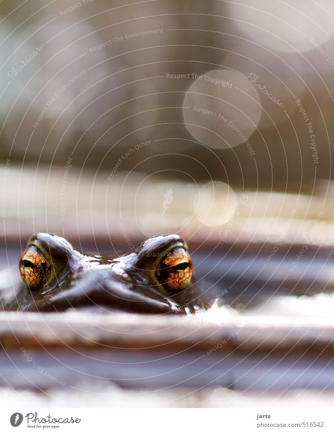 Big eyes Animal Wild animal Frog 1 Looking Swimming & Bathing Natural Nature Eyes Colour photo Exterior shot Close-up Deserted Copy Space top Day Light