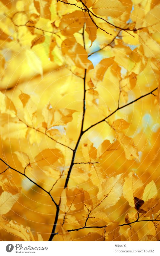 Nature Sun Tree Leaf Yellow Autumn Gold Beautiful weather Autumn leaves Autumnal Autumnal colours Early fall Twigs and branches Beech tree Automn wood