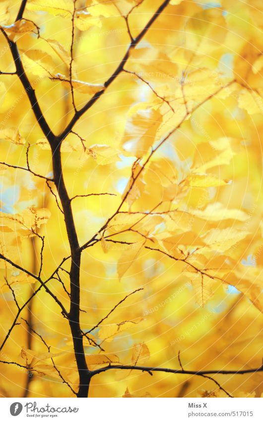 Delicate Gold Autumn Beautiful weather Tree Leaf Forest Yellow Autumn leaves Branch Twigs and branches Beech tree Beech leaf Autumnal Early fall