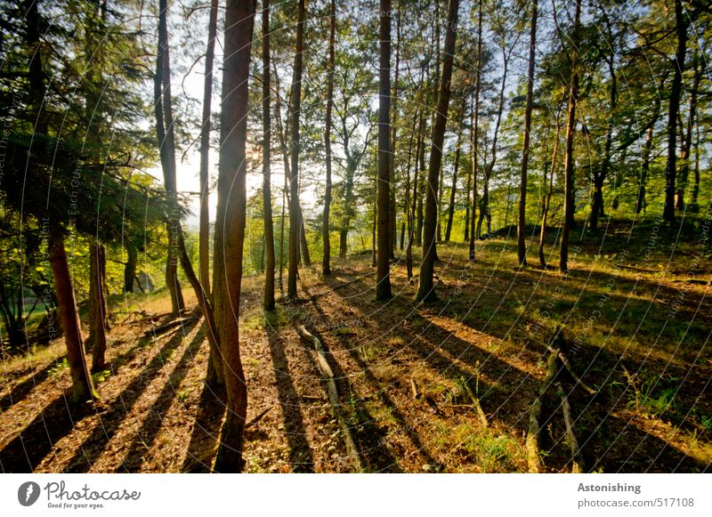 Forest in the evening sun Environment Nature Landscape Plant Air Sky Sun Sunrise Sunset Sunlight Autumn Weather Beautiful weather Warmth Tree Grass Moss Stand
