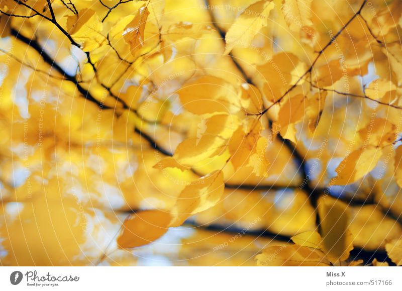 Yellow Beech Autumn Beautiful weather Tree Leaf Bright Warmth Gold Autumn leaves Beech leaf Beech tree Autumnal colours Early fall Automn wood Branch Twig