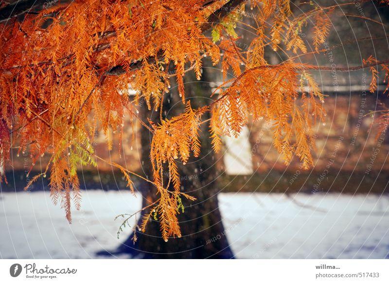 Nature Plant Tree Red Winter Autumn Snow Exceptional Orange Autumnal Autumnal colours Coniferous trees Conifer Bald-cypress